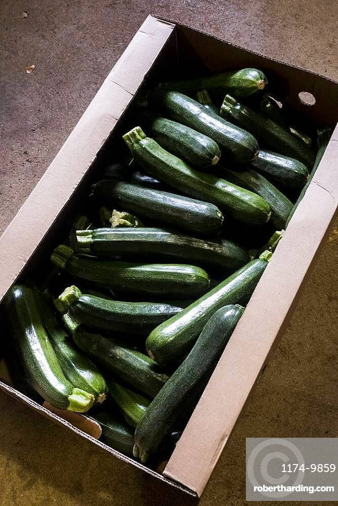 High angle close up of box of freshly picked courgettes, Oxfordshire, United Kingdom