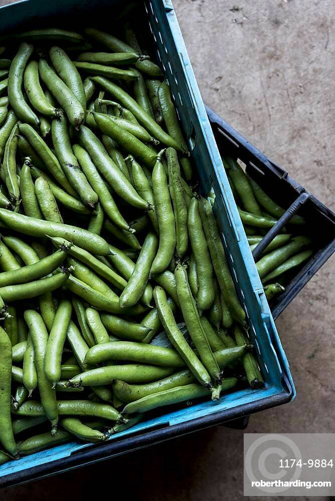 High angle close up of freshly picked green beans, Oxfordshire, United Kingdom