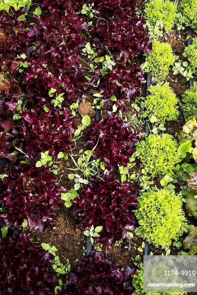 High angle close up of selection of salad leaves growing in a field, Oxfordshire, United Kingdom