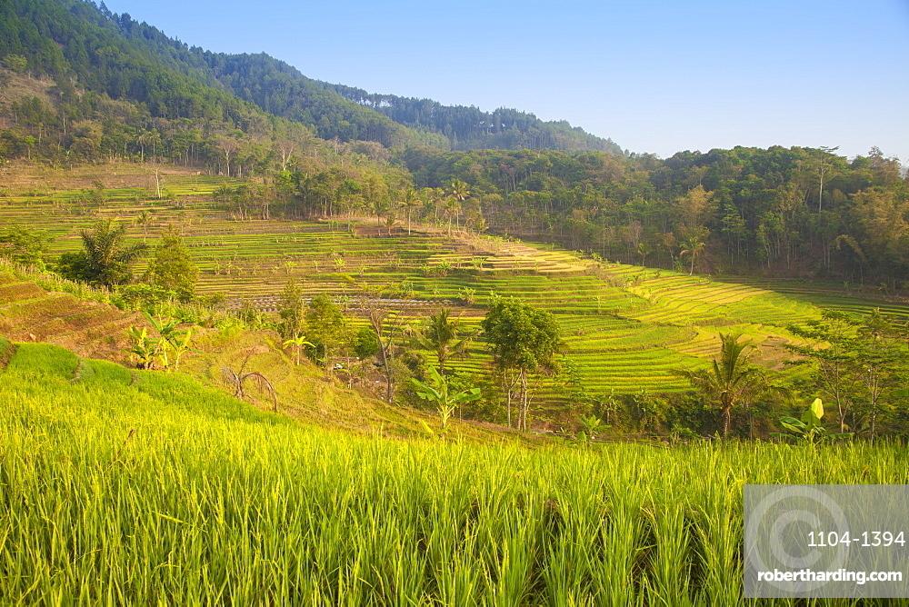 Rice paddies near Borobudur, Magelang, Java, Indonesia, Southeast Asia, Asia