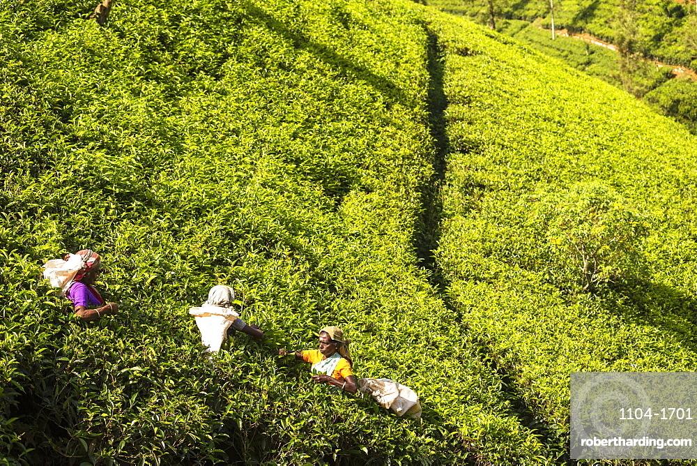 Sri Lanka, Hatton, Castlereagh Lake, Tea plucking