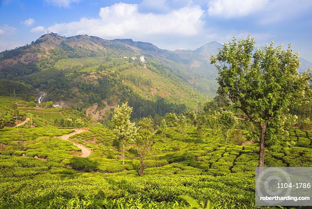 India, Kerala, Munnar, View of tea estate and Attukad Waterfalls