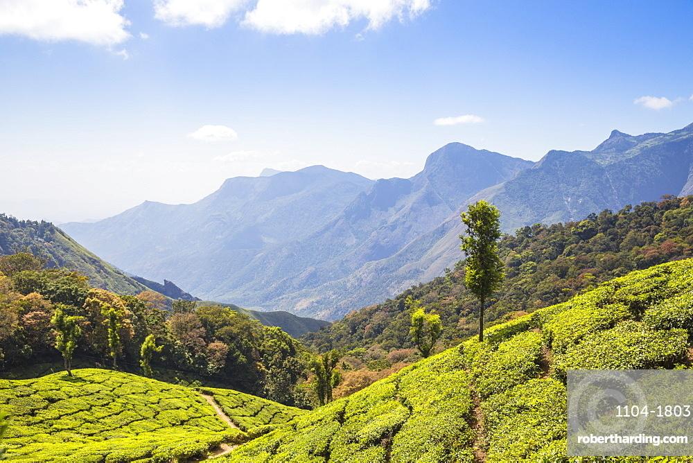 India, Kerala, Munnar, Tea estate at top station