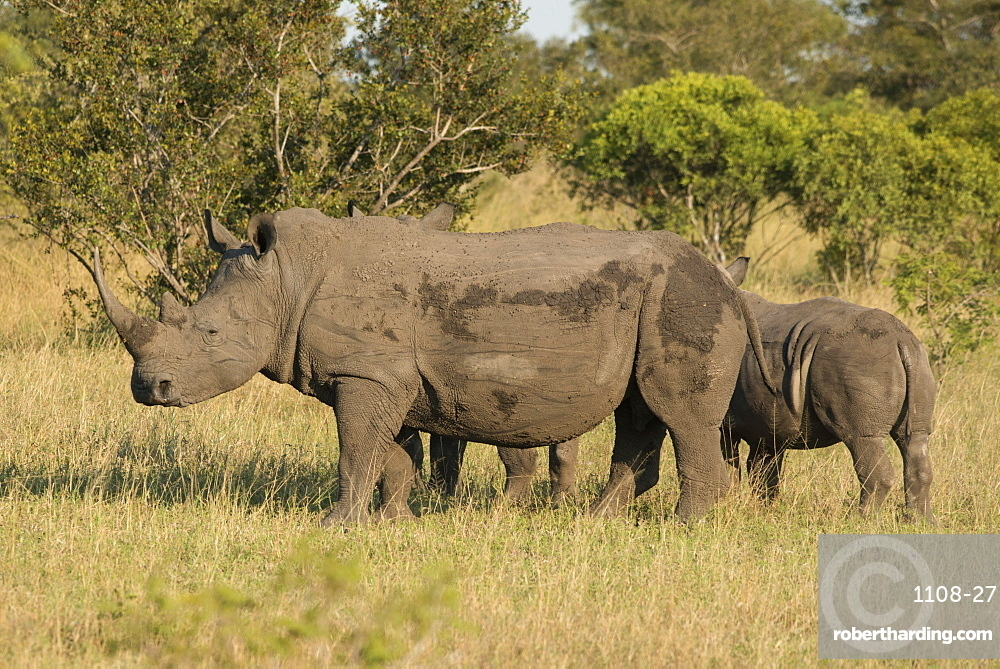 Mother and young white rhino, Kruger National Park, South Africa, Africa