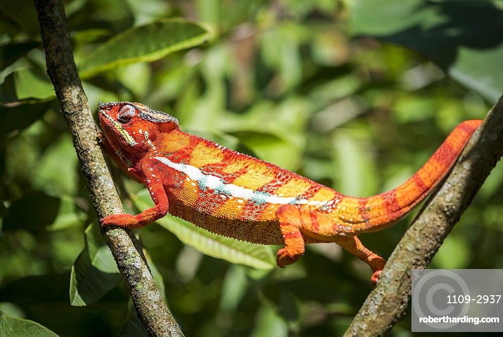 Red panther chameleon (Furcifer pardalis), endemic to Madagascar, Africa