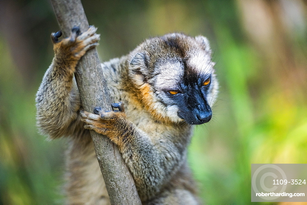 Common Brown Lemur (Eulemur fulvus), Andasibe, Madagascar, Africa