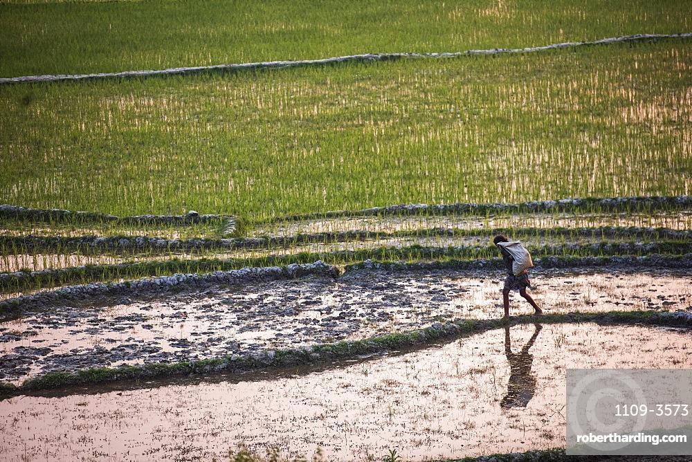 Rice paddy fields at sunser, near Ranomafana, Haute Matsiatra Region, Madagascar, Africa