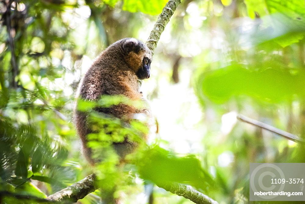 Golden Bamboo Lemur (Hapalemur aureus), Ranomafana National Park, Haute Matsiatra Region, Madagascar, Africa