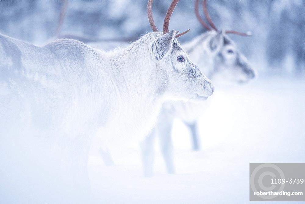 Reindeer at Torassieppi Reindeer Farm, Lapland, Finland, Europe