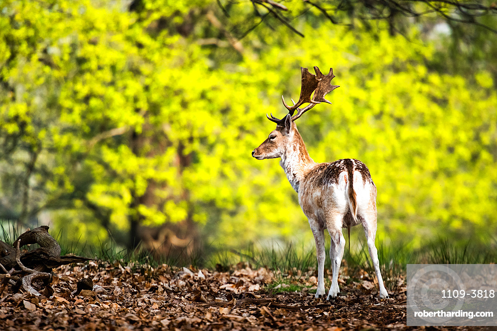 Roe Deer in Richmond Park, London, England, United Kingdom, Europe