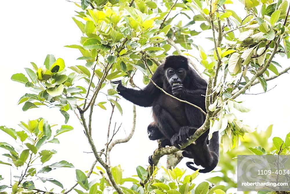 Mantled Howler Monkey (Alouatta palliata), La Fortuna, Arenal, Alajuela Province, Costa Rica