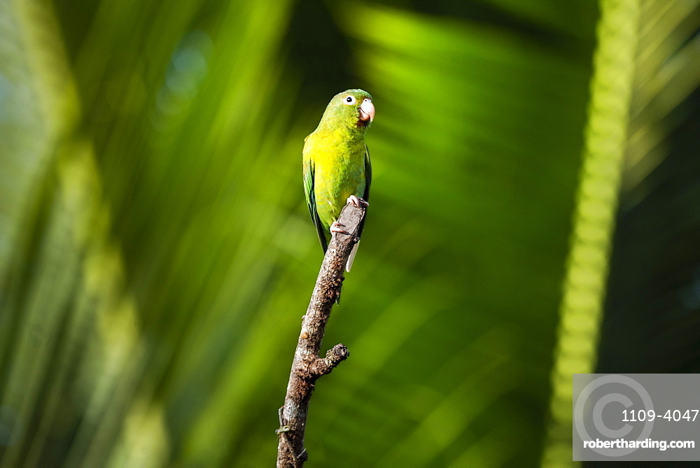 Orange Chinned Parakeet (Brotogeris Jugularis), Boca Tapada, Alajuela Province, Costa Rica, Central America