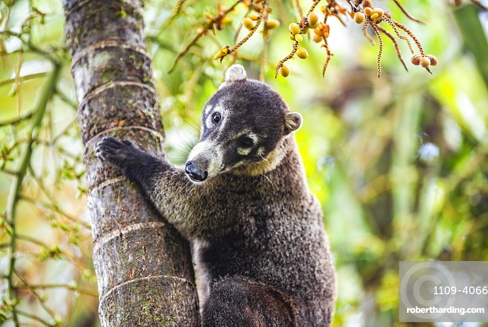 Coati (Nasua Nasua aka Coatimundis), Boca Tapada, Alajuela Province, Costa Rica