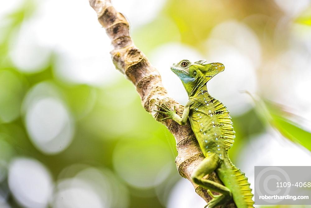 Green Plumed Basilisk Lizard (Basiliscus plumifrons), Boca Tapada, Alajuela Province, Costa Rica