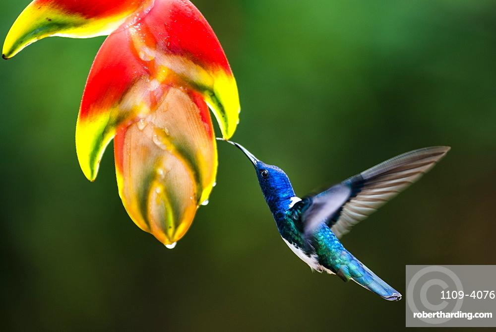 White-necked Jacobin (Florisuga mellivora aka Collared Hummingbird) Boca Tapada, Alajuela Province, Costa Rica
