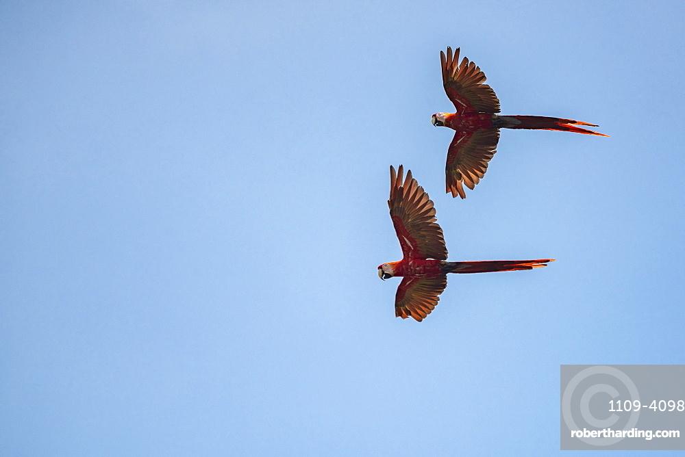 Pair of Scarlet Macaw (Ara macao), Tarcoles River, Carara National Park, Puntarenas Province, Costa Rica