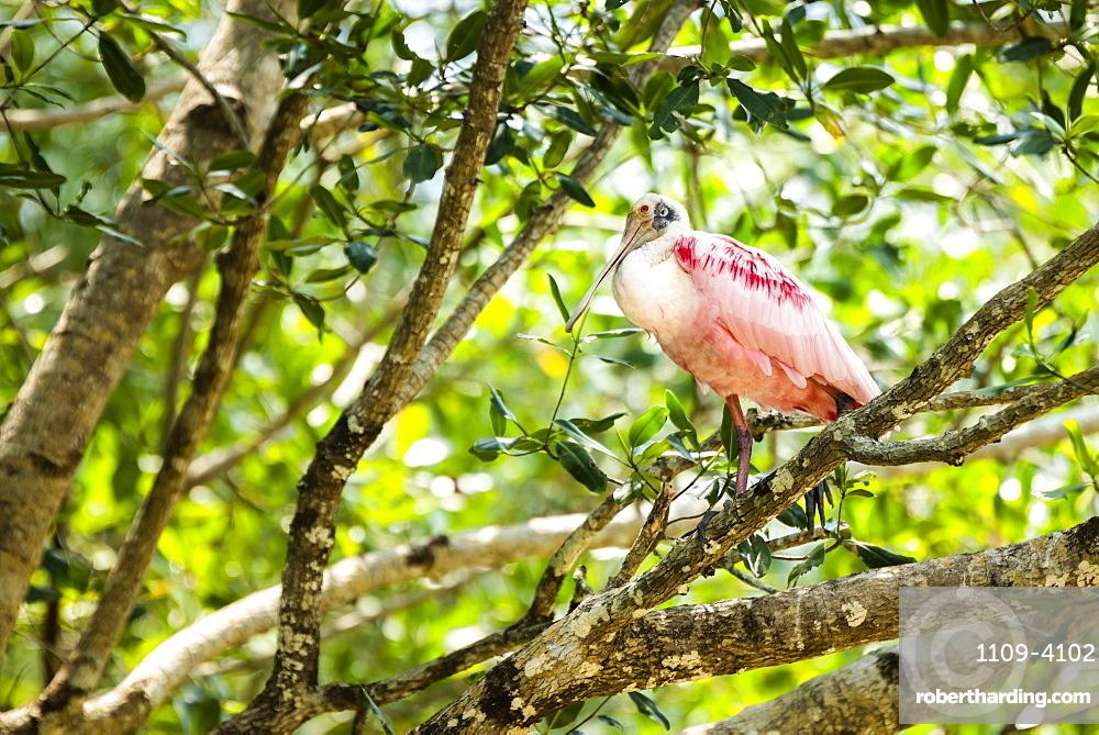 Roseate Spoonbill (Platalea ajaja), Tarcoles River, Carara National Park, Puntarenas Province, Costa Rica, Central America