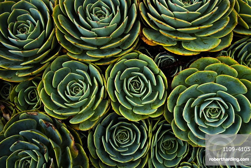 Succulents in the shape of flowers, San Gerardo de Dota, San Jose Province, Costa Rica, Central America