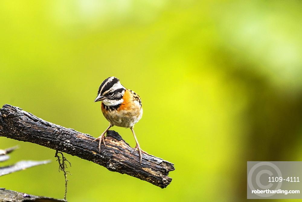 Rufous-collared Sparrow (Zonotrichia capensis), San Gerardo de Dota, San Jose Province, Costa Rica