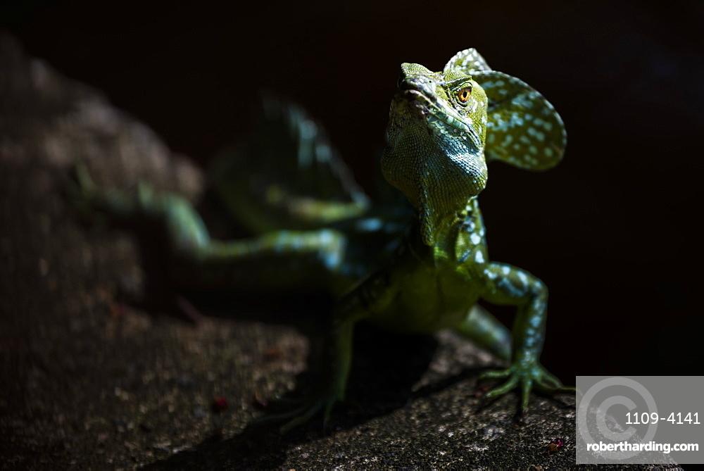 Common Basilisk (aka Jesus Christ Lizard, Basiliscus Basiliscus), Tortuguero National Park, Limon Province, Costa Rica