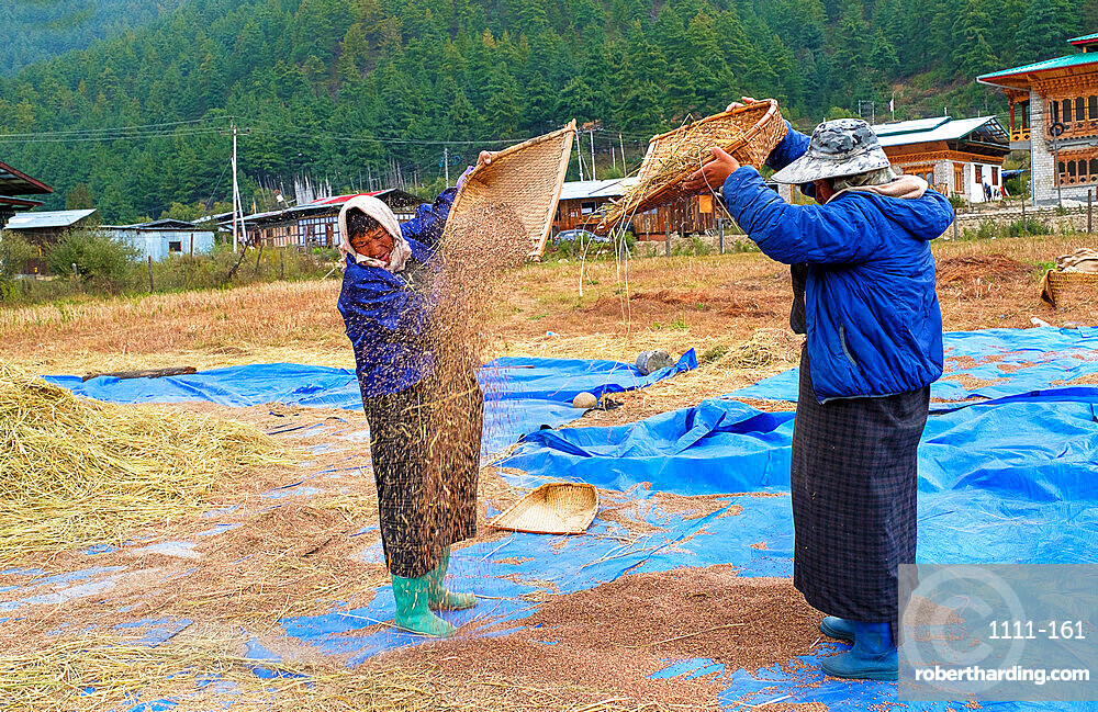 Harvesting rice and wheat, field workers, Bumthang village.