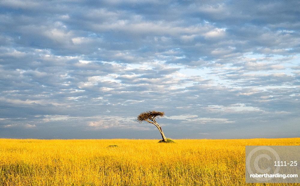 Single acacia tree, Maasai Mara National Reserve, Kenya, East Africa, Africa