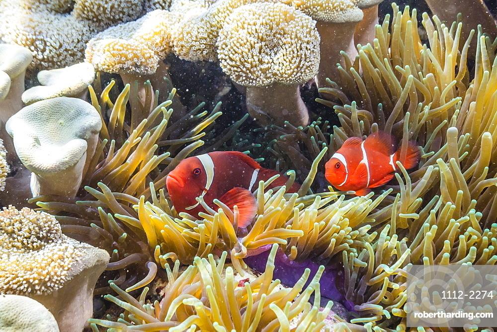 A pair of spinecheek anemonefish (Premnas biaculeatus), Sebayur Island, Komodo Island National Park, Indonesia, Southeast Asia, Asia
