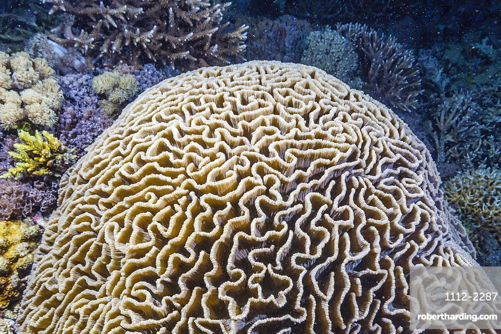 Brain coral at night on Sebayur Island, Komodo Island National Park, Indonesia, Southeast Asia, Asia