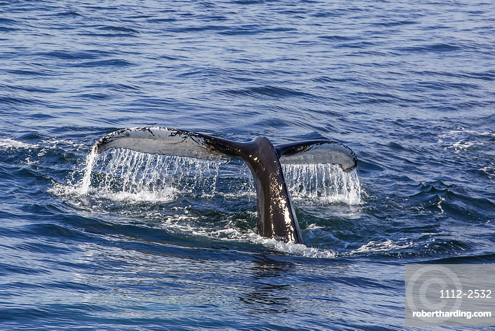 Adult humpback whale (Megaptera novaeangliae) flukes-up dive off the west coast of Spitsbergen, Svalbard, Arctic, Norway, Scandinavia, Europe