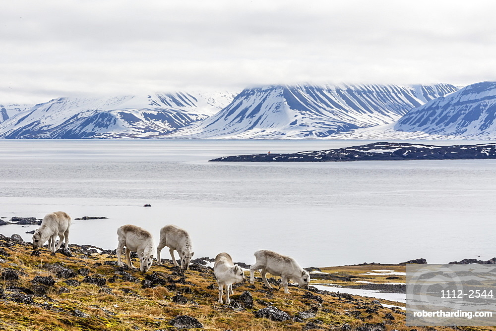 Svalbard reindeer (Rangifer tarandus) grazing on the tundra in Varsolbukta, Bellsund, Spitsbergen, Arctic, Norway, Scandinavia, Europe