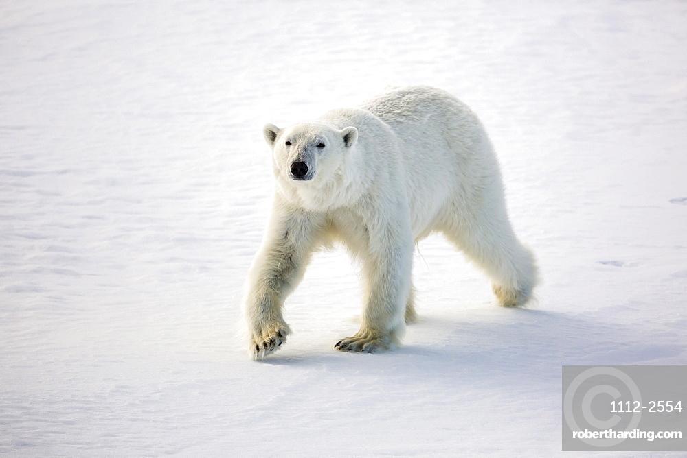 Adult polar bear (Ursus maritimus) on first year sea ice in Olga Strait, near Edgeoya, Svalbard, Arctic, Norway, Scandinavia, Europe