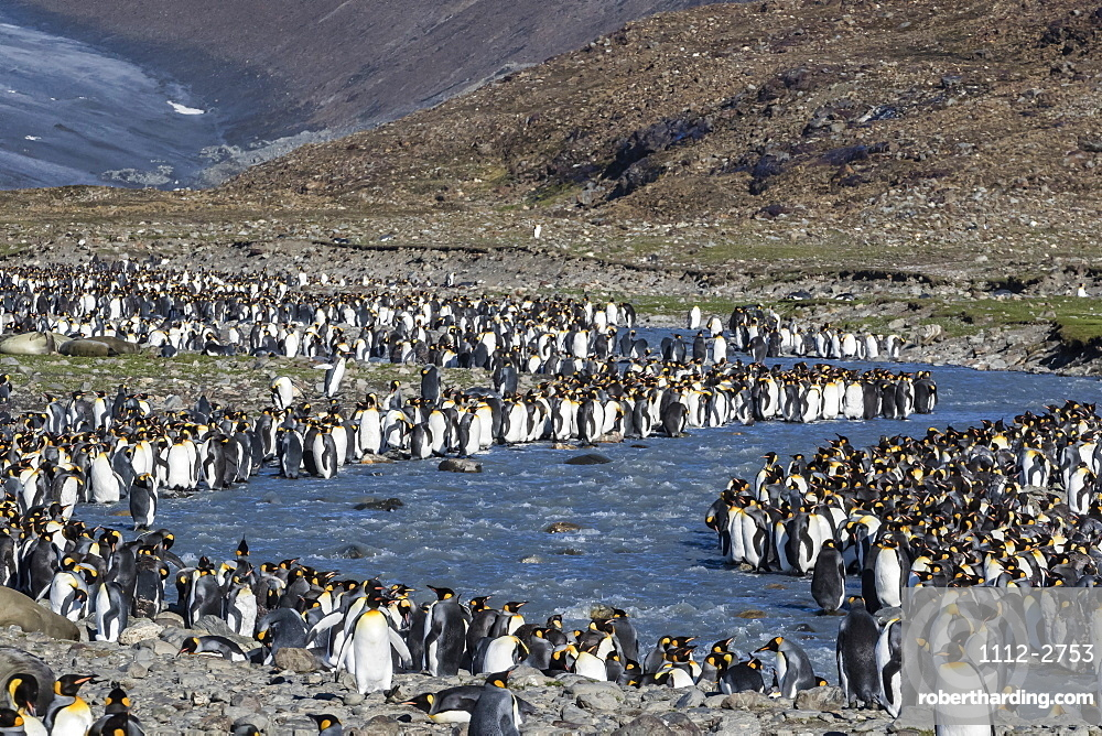 King penguin (Aptenodytes patagonicus) breeding colony at St. Andrews Bay, South Georgia, Polar Regions