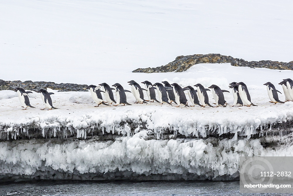 Adelie penguins (Pygoscelis adeliae) at breeding colony at Brown Bluff, Antarctica, Southern Ocean, Polar Regions