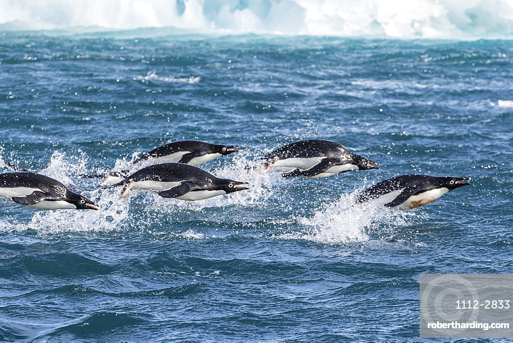 Adelie penguins (Pygoscelis adeliae) porpoising at sea at Brown Bluff, Antarctica, Southern Ocean, Polar Regions