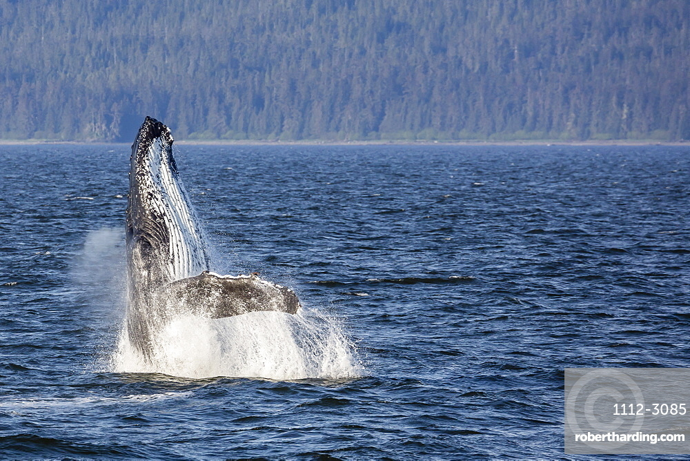 Mother humpback whale (Megaptera novaeangliae) breaching in Icy Strait, southeast Alaska, United States of America, North America