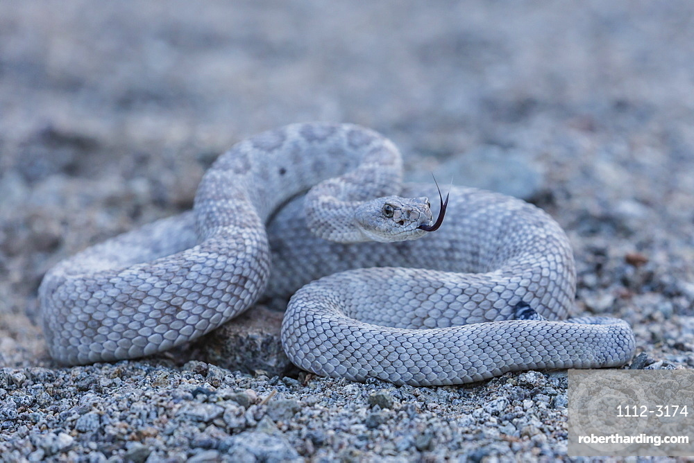 Ash colored morph of the endemic rattleless rattlesnake (Crotalus catalinensis), Isla Santa Catalina, Baja California Sur, Mexico, North America