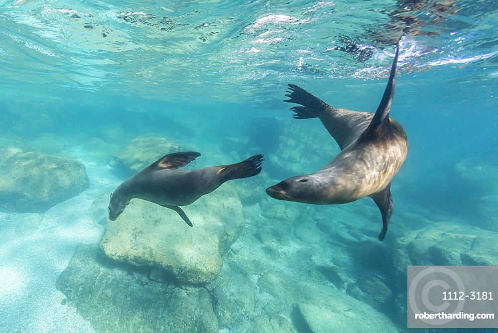 California sea lions (Zalophus californianus), playing underwater at Los Islotes, Baja California Sur, Mexico, North America