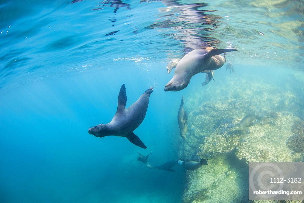 Curious California sea lion pups (Zalophus californianus), underwater at Los Islotes, Baja California Sur, Mexico, North America