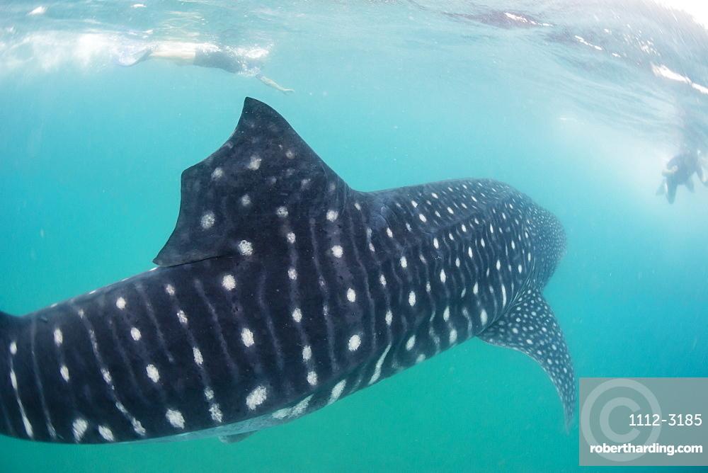 Whale shark (Rhincodon typus), underwater with snorkelers off El Mogote, near La Paz, Baja California Sur, Mexico, North America