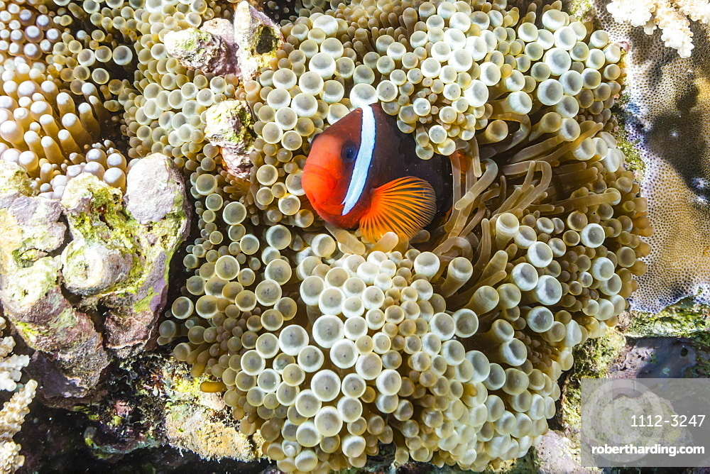 Adult tomato clownfish (Amphiprion frenatus), Mengiatan Island, Komodo National Park, Flores Sea, Indonesia, Southeast Asia, Asia
