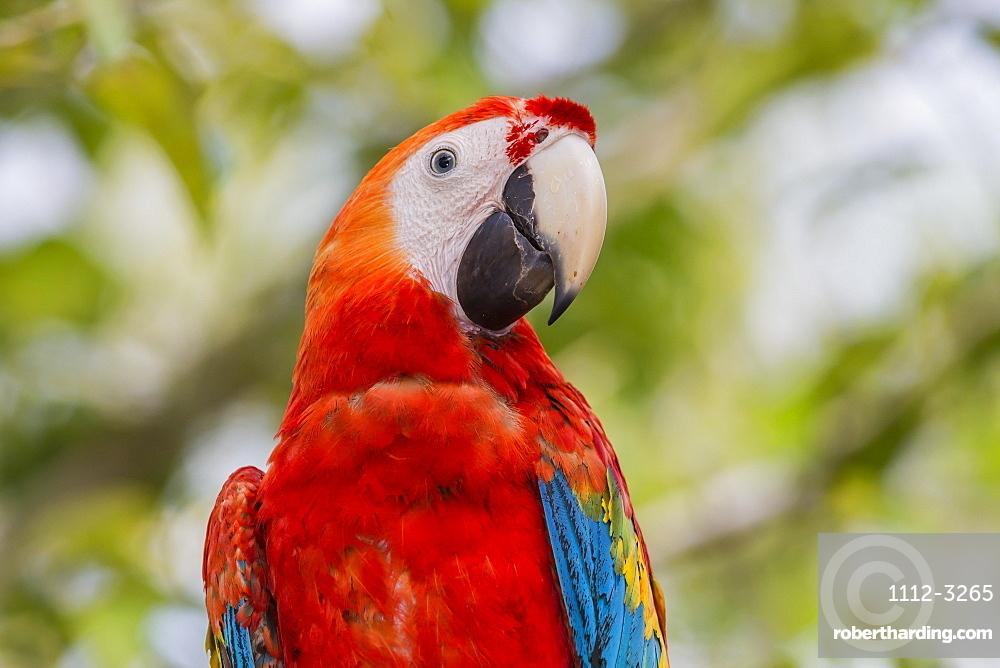 Adult scarlet macaw (Ara macao), Amazon National Park, Loreto, Peru, South America