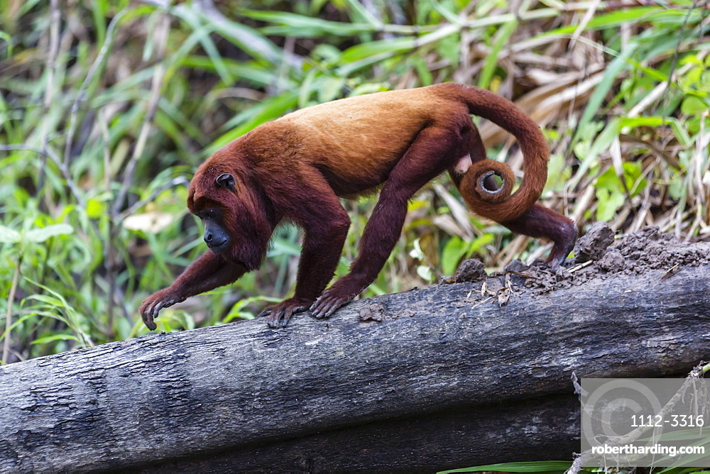 Adult red howler monkey (Alouatta seniculus), San Miguel Cao, Loreto, Peru, South America