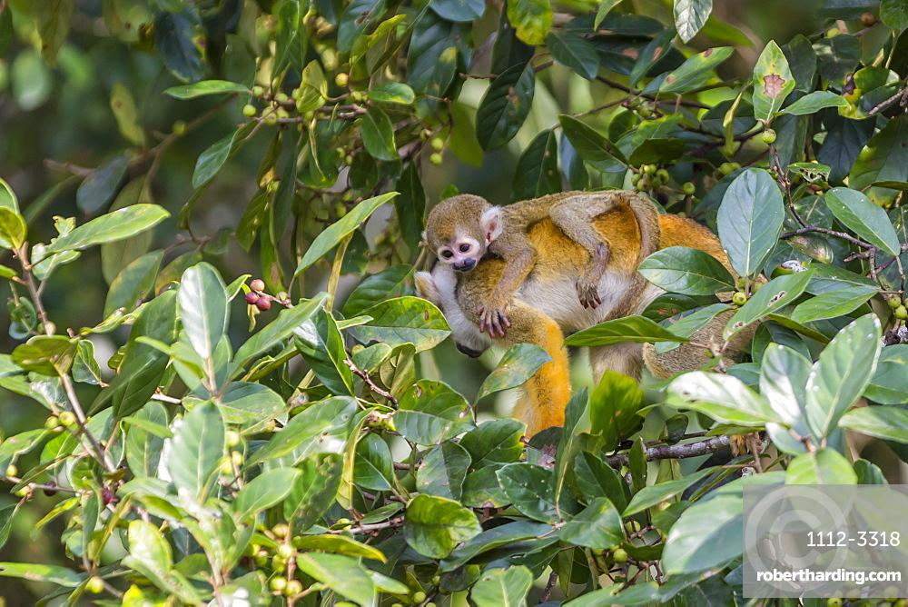 Mother common squirrel monkey (Saimiri sciureus) with infant in the trees on the Nauta Cao, Loreto, Peru, South America