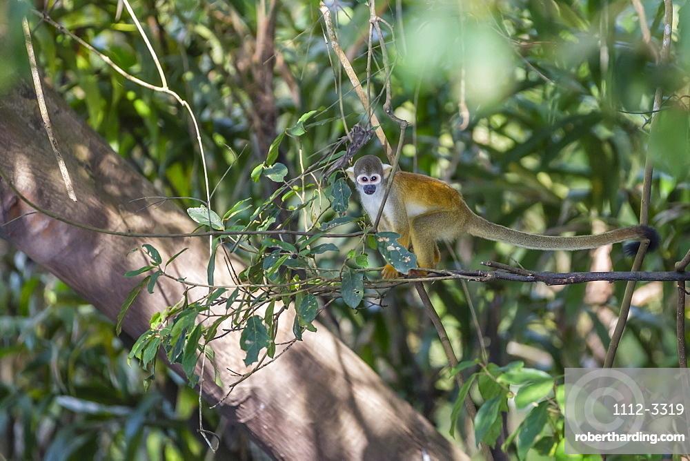 Adult common squirrel monkey (Saimiri sciureus), in the Pacaya-Samiria Nature Reserve, Loreto, Peru, South America