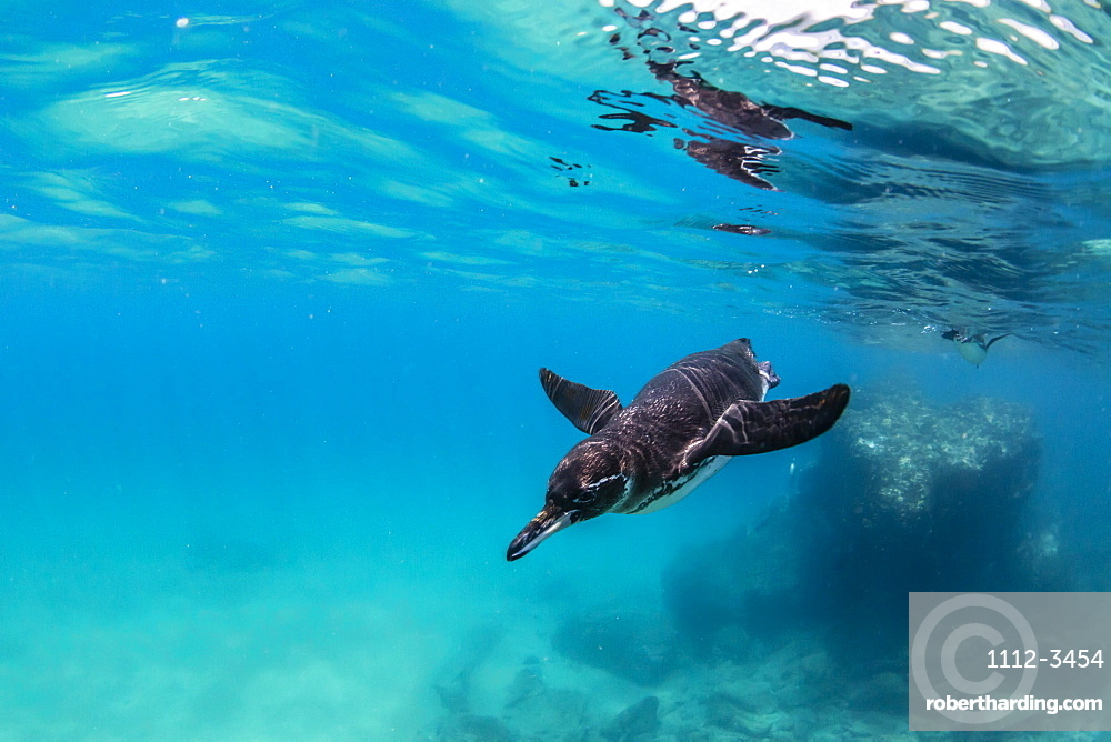 Galapagos penguin (Spheniscus mendiculus) swimming underwater at Bartolome Island, Galapagos, Ecuador, South America