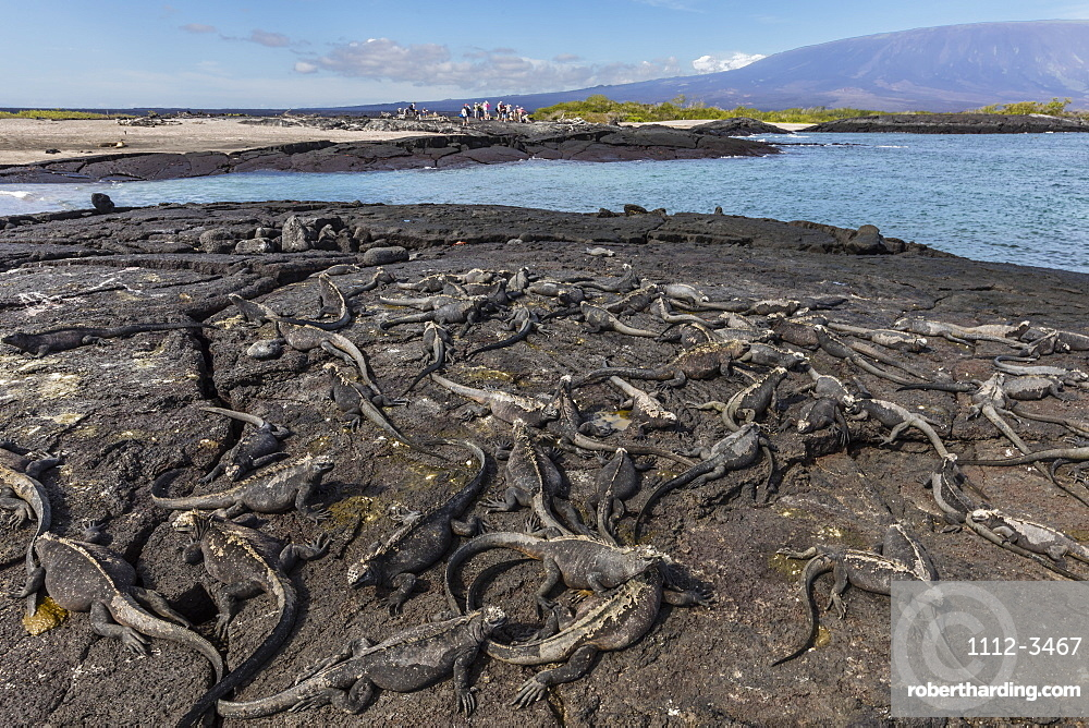 The endemic Galapagos marine iguana (Amblyrhynchus cristatus) basking on Fernandina Island, Galapagos, UNESCO World Heritage Site, Ecuador, South America