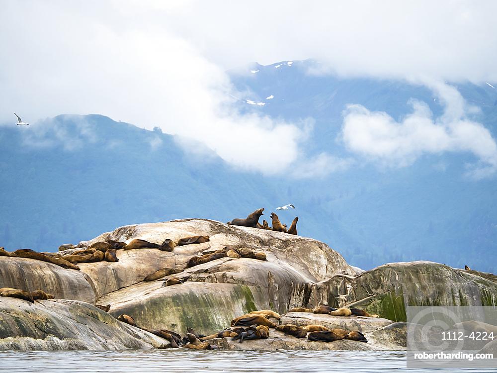 Steller sea lions (Eumetopias jubatus), hauled out on South Marble Island, Glacier Bay National Park, Alaska, United States of America, North America
