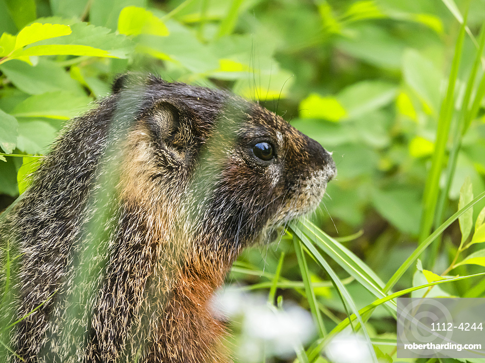 Adult Yellow-bellied marmot (Marmota flaviventris) feeding at Phelps Lake, Grand Teton National Park, Wyoming, United States of America, North America