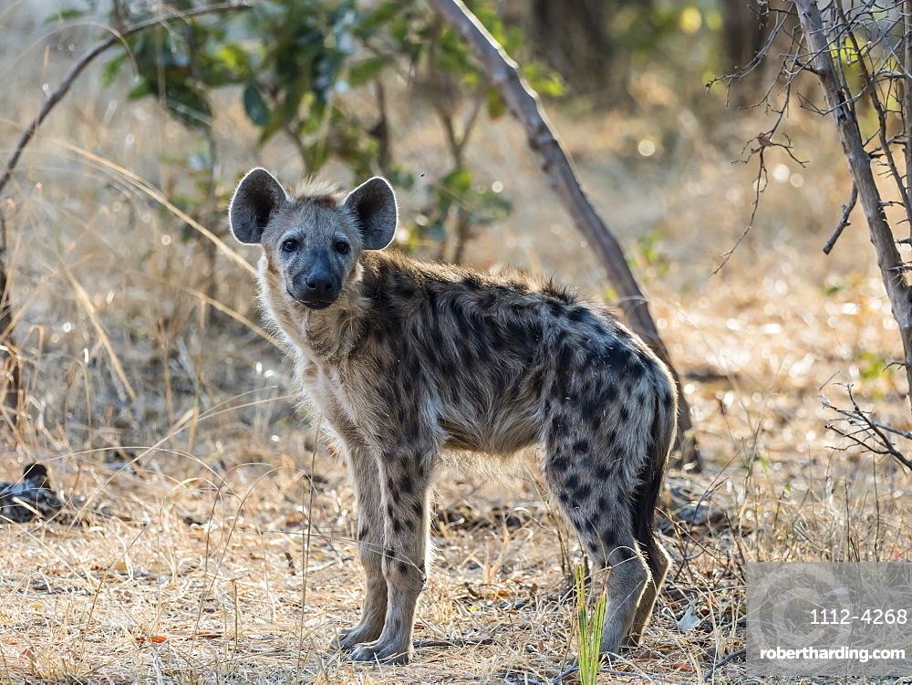 An adult spotted hyena, Crocuta crocuta, in South Luangwa National Park, Zambia.