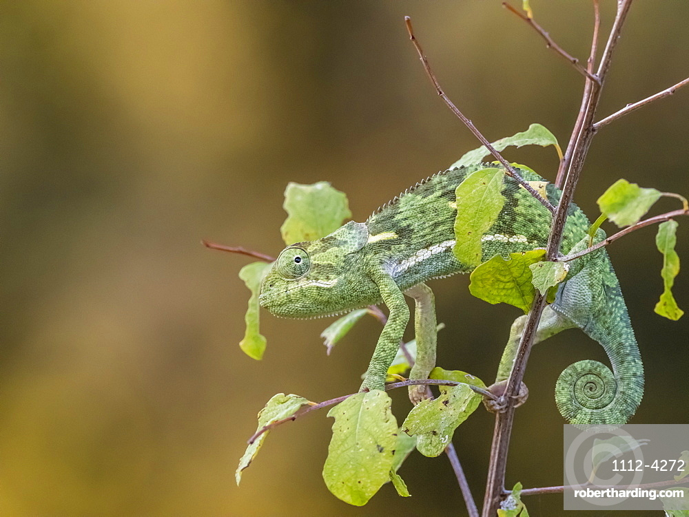 An adult flap-necked chameleon (Chamaeleo dilepis), South Luangwa National Park, Zambia, Africa
